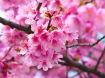 cherry_blossom 2